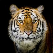 stock photo of sundarbans  - Closeup Tiger animal wildlife black color background - JPG