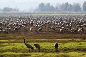 picture of stork  - Three storks stand in the front on the backdrop of many thoursands of storks - JPG