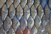 foto of fresh water fish  - Scales of fresh water fish close up - JPG