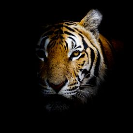 image of tiger eye  - Closeup Tiger animal wildlife black color background - JPG