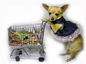 foto of bag-of-dog-food  - a female chihuahua walking in the grocery store - JPG