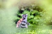 picture of nose ring  - Lemur sitting on grass with blurred green nature around - JPG