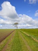 stock photo of ashes  - an agricultural farm track and lone ash tree beside a newly planted pea field on the yorkshire wolds england under a blue cloudy sky in springtime - JPG