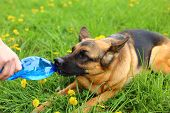 picture of german-sheperd  - Thirsty German shepher dog drinking water from a plastic PET bottle during a hot day on a grass - JPG