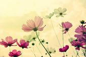 foto of cosmos flowers  - Abstract cosmos flowers in the garden at Thailand  - JPG