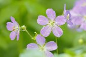 stock photo of geranium  - Raindrops cling to the petals of these Wild Geraniums  - JPG