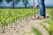 foto of hoe  - The worker hoeing the young corn field - JPG