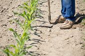 image of hoe  - The worker hoeing the young corn field - JPG