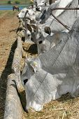 stock photo of oxen  - cows and ox feeding in a farm - JPG