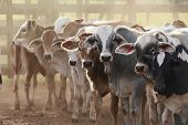 stock photo of cow head  - cows at a cattle farm or ranch in brazil - JPG