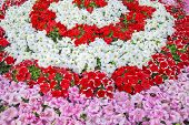 stock photo of petunia  - Pink white and red petunia flowers forming flowerbed - JPG