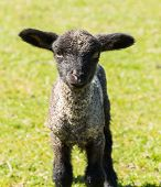 stock photo of lamb  - View of young lamb from Shropshire sheep breed in welsh meadow - JPG