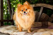 foto of pomeranian  - cute pomeranian dog portrait at home puppy - JPG