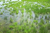 picture of marsh grass  - Pond with grass as background - JPG