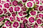 foto of carnation  - background from the white wild growing carnation - JPG