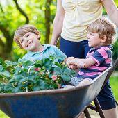 foto of wheelbarrow  - Two active blond kid boys having fun in a wheelbarrow pushing by mother in domestic garden on warm sunny day - JPG