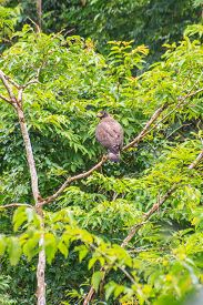 stock photo of serpent  - Crested Serpent Eagle resting on a perch in forest - JPG