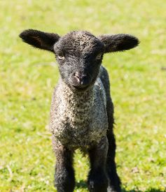 image of baby sheep  - View of young lamb from Shropshire sheep breed in welsh meadow - JPG