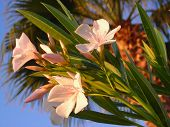stock photo of oleander  - rosebay  - JPG