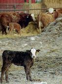pic of feedlot  - calf standing in barnyard with cows feeding behind - JPG