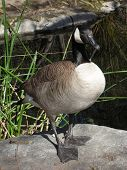 stock photo of honkers  - canada goose standing on a rock in front of a pond - JPG