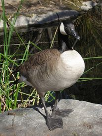 picture of honkers  - canada goose standing on a rock in front of a pond - JPG