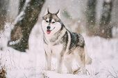 Siberian Husky Dog Walking Outdoor In Snowy Field At Winter Day. poster