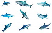 Collection of Sharks isolated. Caribbean Reef Shark cutouts poster