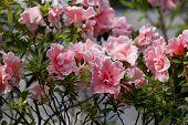 Big Pink Azalea Bush Or Rhododendron In The Winter Garden. Season Of Flowering Azaleas (rhododendron poster