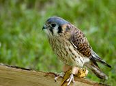 Animal Bird Kestrel poster