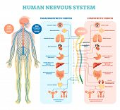 Human Nervous System Medical Vector Illustration Diagram With Parasympathetic And Sympathetic Nerves poster