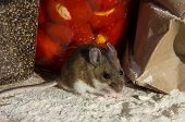 A Wild Brown House Mouse, Mus Musculus, Standing On A Pile Of Flour In Front Of Jars Of Food In A Ki poster