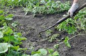 Gardener Pull Up Weeds With A Hoe In The Watermelon Plantation In The Vegetable Garden poster
