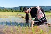 stock photo of hmong  - Hmong works on rice paddy traditional national costume in Laos - JPG