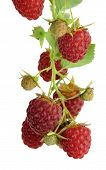 Organic Raspberries On Bush . Growing Berries Closeup. Ripe Raspberry On Branch .ripe Raspberry Isol poster
