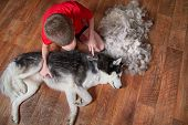 Concept Of Spring Moulting Dogs. Boy Comb Wool From Siberian Husky. Husky Dog Black And White Lies N poster