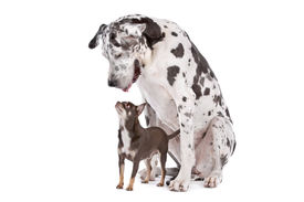 foto of great dane  - Great Dane HARLEQUIN and a chihuahua in front of a white background - JPG
