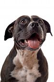 image of staffordshire-terrier  - Portrait of the american staffordshire terrier - JPG