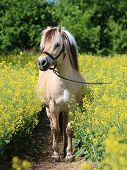 Pretty Fjord Pony Stands In A Rape Field poster
