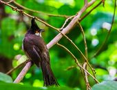 Red Whiskered Bulbul Sitting On A Tree Branch In Closeup, Tropical Black Crested Bird, Exotic Animal poster
