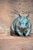 picture of wombat  - the wombat is walking thru red  dirt - JPG