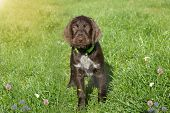 Czech Pointer Dog/  Eight - Week Puppy Of Hunter Dog Named Cesky Fousek.eight - Week Puppy Of Hunter poster