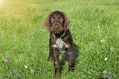 Czech Pointer Dog/  Eight - Week Puppy Of Hunter Dog Named Cesky Fousek.eight - Week Puppy Of Hunter poster