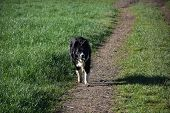 Beautiful Border Collie Dog Fetching A Stick In The Countryside. poster