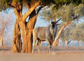 Common Eland - Taurotragus Oryx Also The Southern Eland Or Eland Antelope, Savannah And Plains Antel poster