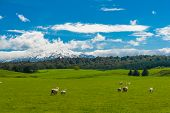 Beautiful landscape of the New Zealand - hills covered by green grass with herds of sheep with a mig poster