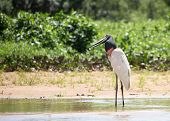 Jabiru Stork Standing With Head Slightly Tilted Looking Against A Vibrant Lush Natural Bush Backgrou poster