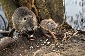Nutria Wild Animal Eats Bread, Wild Animal With The Offspring poster