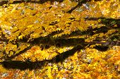 Autumn Tree With Moss Tree, Brilliant Golden Yellow Leaves On This Fall Tree And Lots Of Moss Hangin poster