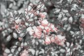 Tender Pink Rose Flower. Winter In The Garden, In The City. First Snow In Early Winter Day, In Autum poster